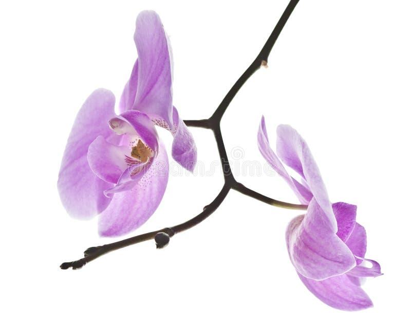 De symmetrie van de bloem van orchideephalaenopsis royalty-vrije stock afbeelding