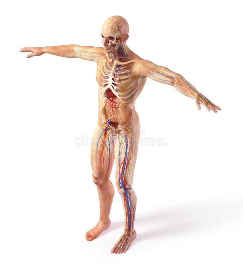 De systemendiagram van de mensen totaal anatomie met spookeffect royalty-vrije illustratie