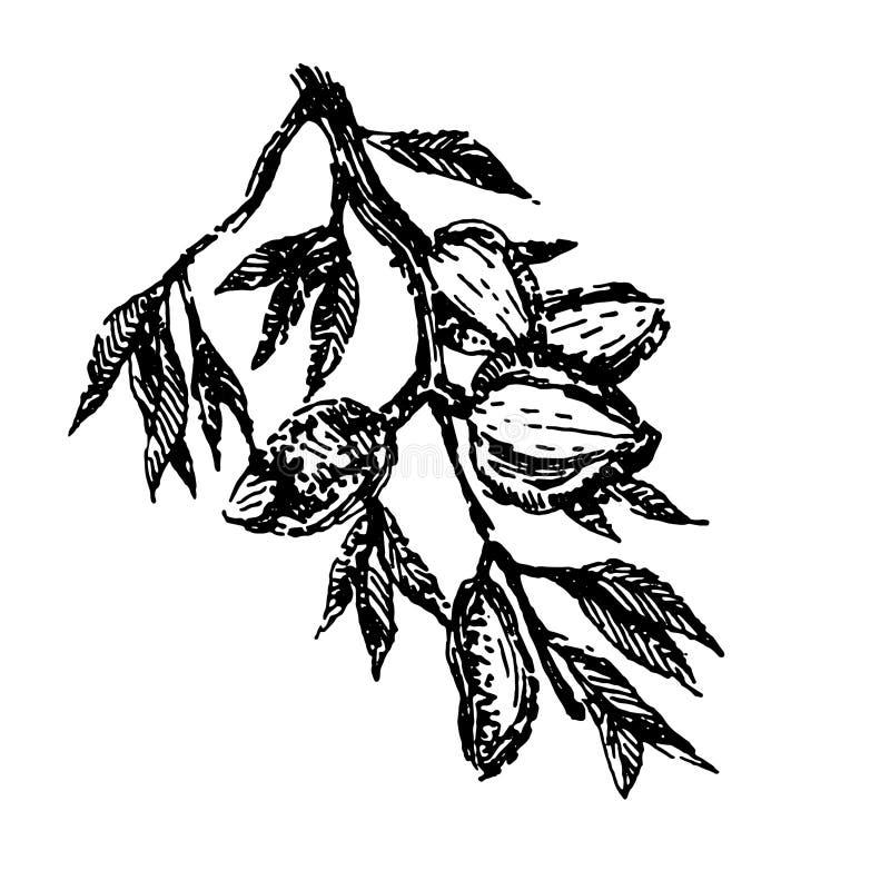 De tak met de installatiehand van amandelennoten trekt de vector van de illustratieschets royalty-vrije illustratie