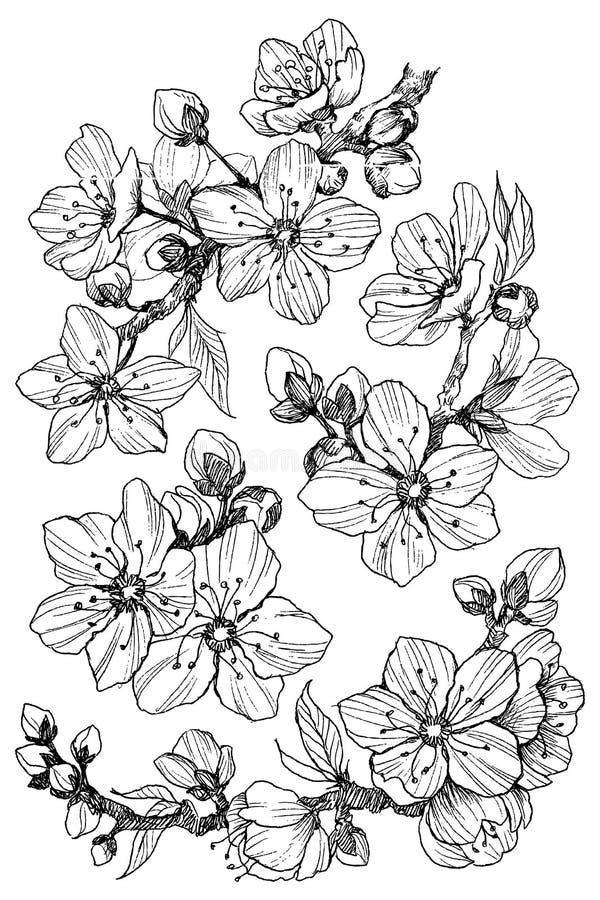 De tak van de amandelbloesem op wit wordt geïsoleerd dat Uitstekende botanische hand getrokken illustratie De lentebloemen van ap vector illustratie