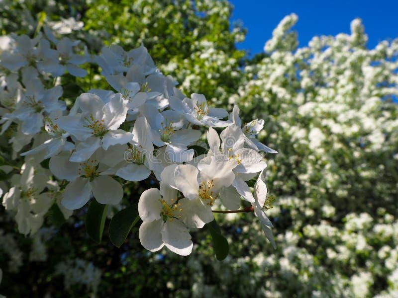 De tak van bloeiende witte appelboom bekijkt dicht royalty-vrije stock afbeeldingen