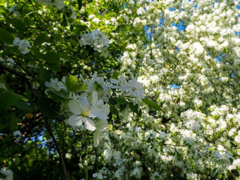 De tak van bloeiende witte appelboom bekijkt dicht royalty-vrije stock afbeelding