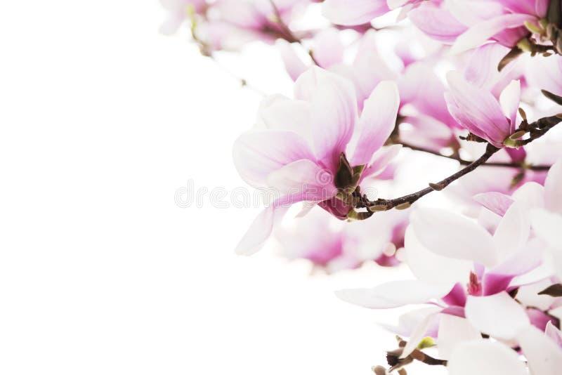 De tak van de bloemenmagnolia op witte achtergrond wordt geïsoleerd die stock foto