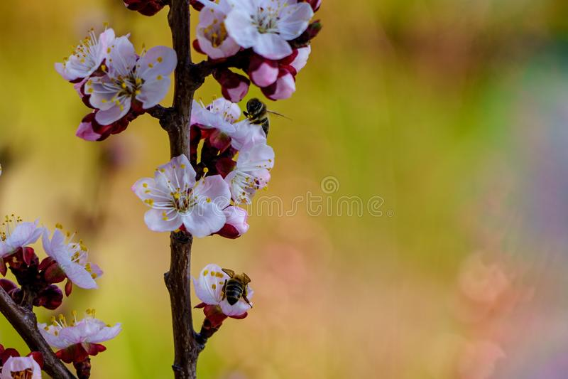 De tak van de bloesemabrikoos met mooie bloemen en bloeiende bloem ontluikt met bijen op bloemen in de tuin royalty-vrije stock fotografie