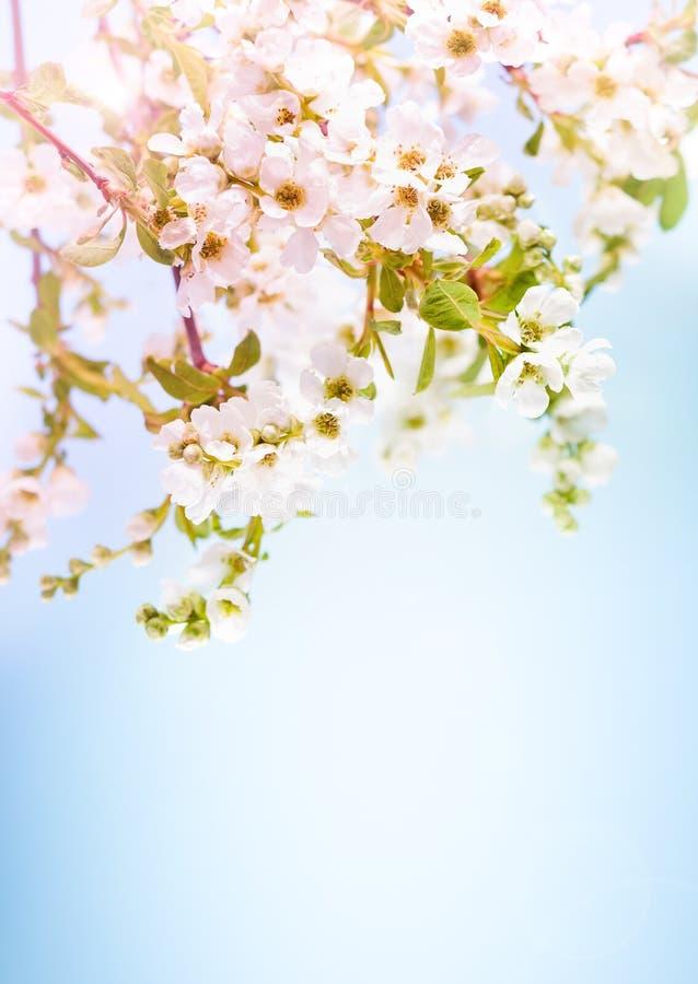 De tak van de bloesemboom met witte bloemen en groene bladeren in lentetijd stock afbeelding