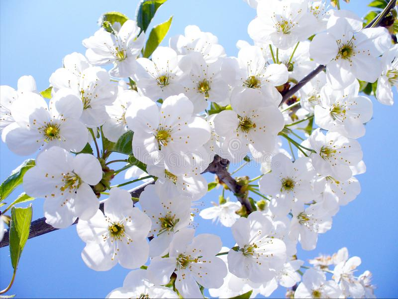 De tak van de bloesemkers, mooie de lentebloemen voor achtergrond stock afbeeldingen