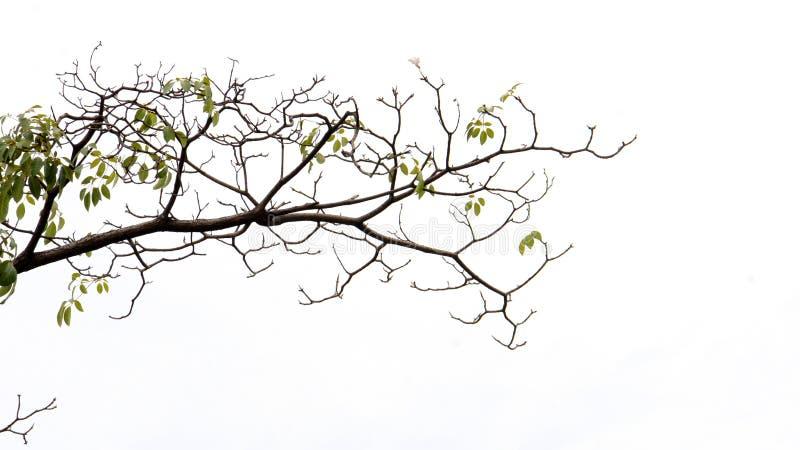 De tak van de boom die op wit wordt ge?soleerdl stock afbeeldingen