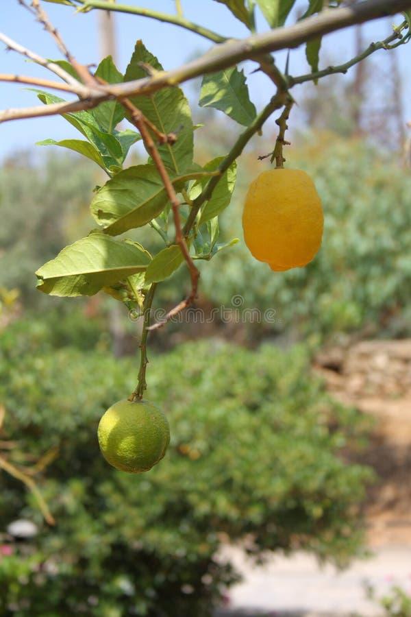 De tak van de citroenboom met groen en geel weinig fruit onder zonlicht Grote details royalty-vrije stock foto
