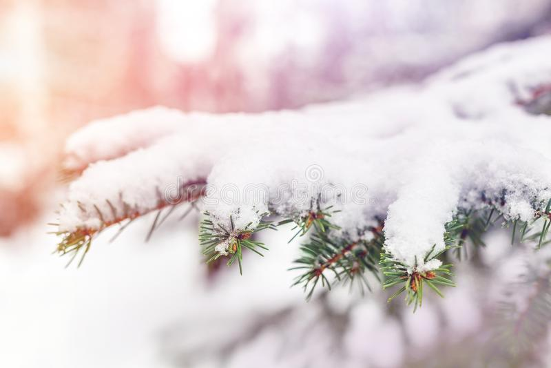 De tak van de close-upspar met verse pluizige sneeuw wordt behandeld die Traditionele Kerstmisboom Kerstmis en nieuwe openlucht n royalty-vrije stock foto's