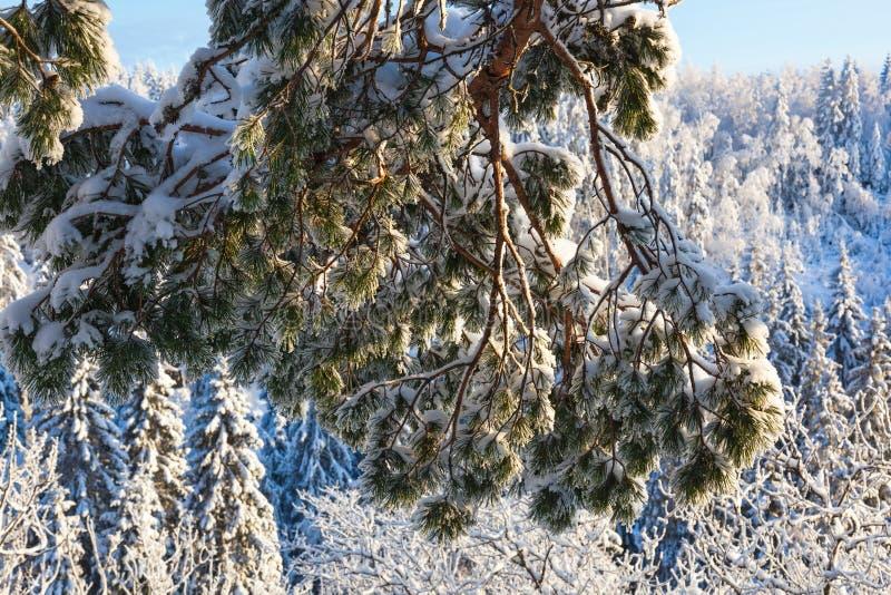 De Tak van de Boom van de pijnboom met Sneeuw stock afbeelding