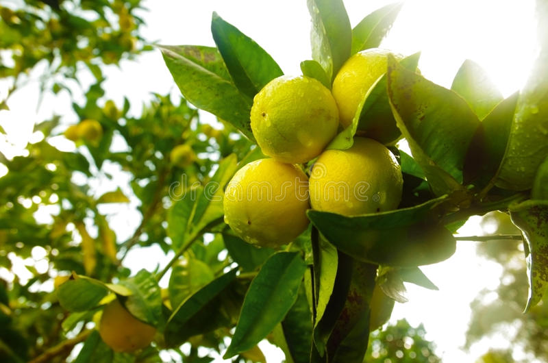 De Tak van de citroen royalty-vrije stock afbeelding