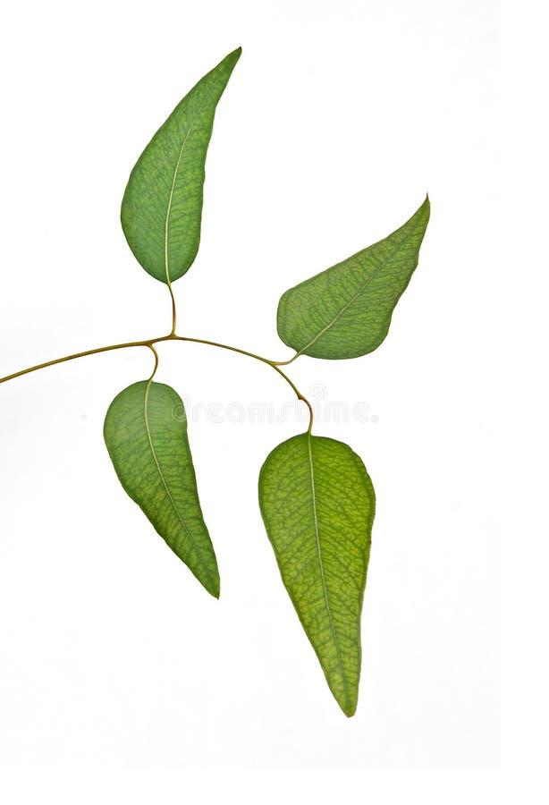 De tak van de eucalyptus stock fotografie