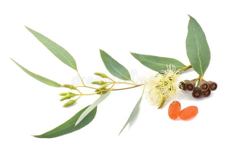 De tak van de eucalyptus royalty-vrije stock afbeeldingen