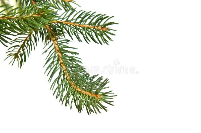 De tak van de het bontboom van de pijnboom royalty-vrije stock afbeelding