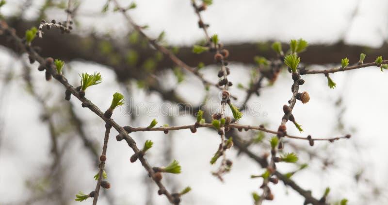 De tak van de lariksboom in de lente royalty-vrije stock foto's
