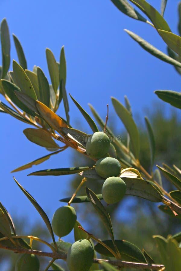 De tak van de olijfboom royalty-vrije stock afbeelding