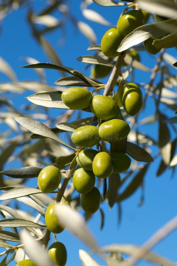 De tak van de olijfboom stock fotografie
