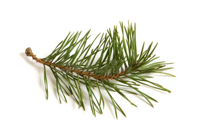 De tak van de pijnboom stock afbeeldingen