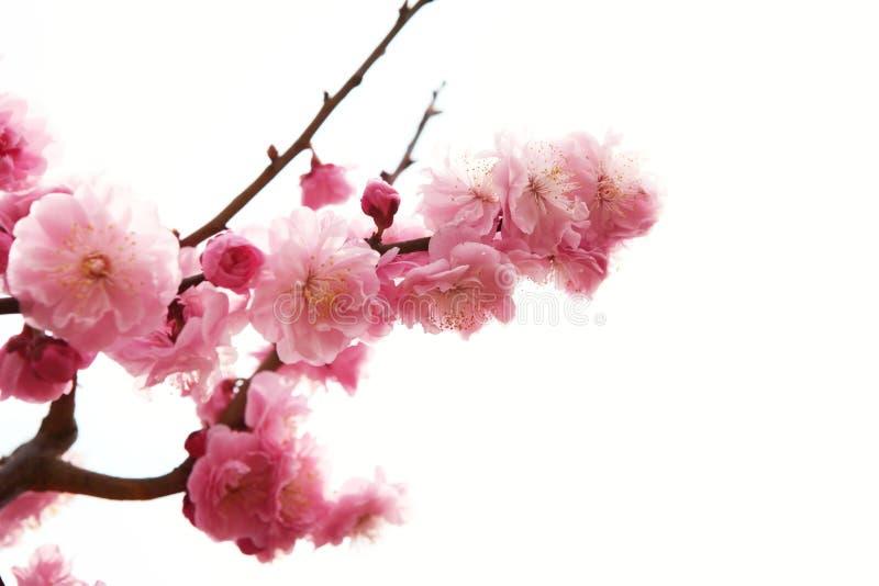 De tak van de pruim met bloemen royalty-vrije stock foto