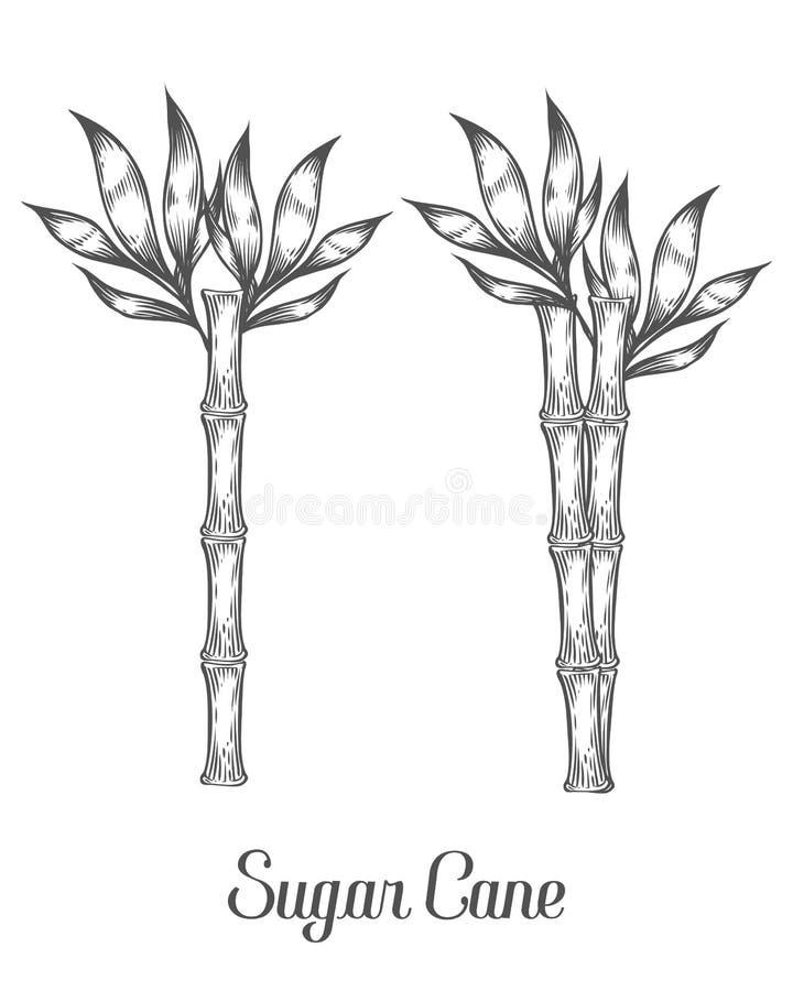 De tak van de suikerrietstam en blad vectorhand getrokken illustratie stock afbeelding