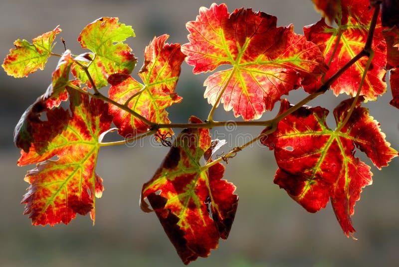 De tak van de wijngaard stock foto