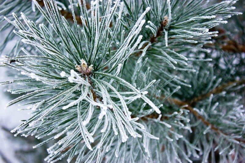 De tak van een pijnboom royalty-vrije stock afbeelding