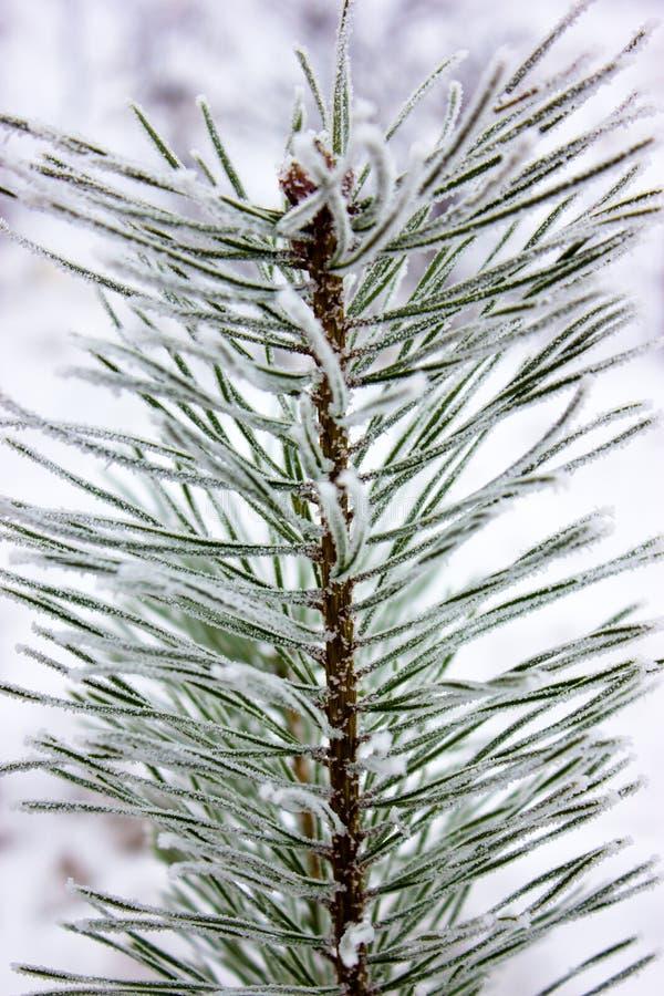 De tak van een pijnboom royalty-vrije stock foto