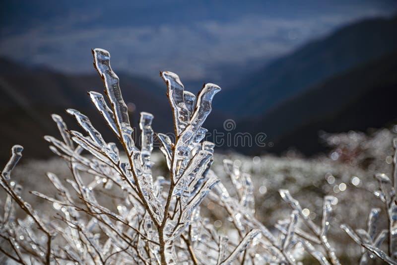 De tak van een struik in een sneeuwberg is bedekt met een laag ijs, omdat de temperatuur te laag is stock afbeelding