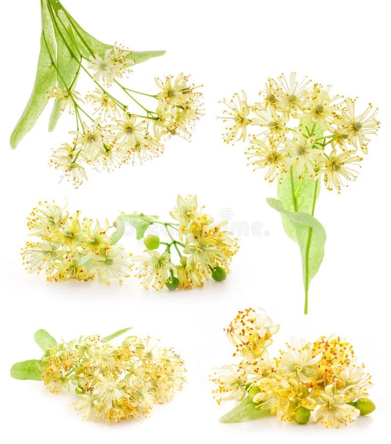 De Tak van inzamelingen van lindebloemen stock foto