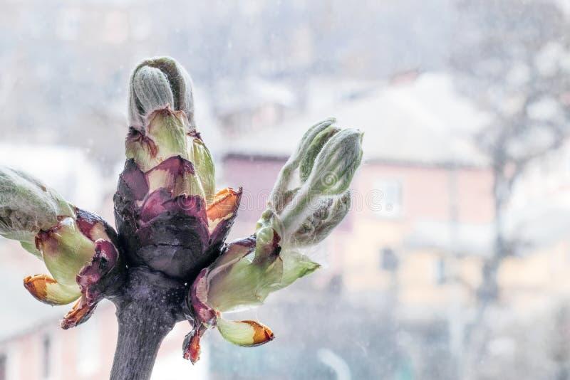 De tak van de kastanjebloesem in de lente stock foto's