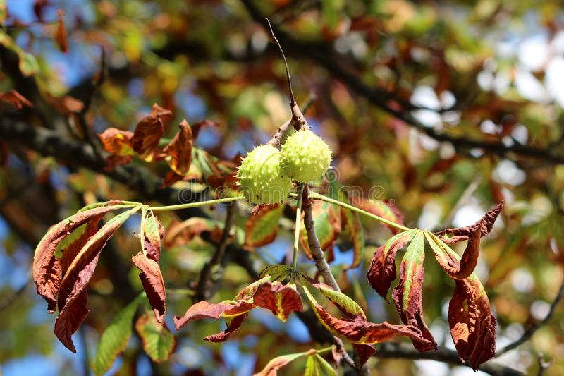 De tak van de kastanjeboom met paar van gesloten doornige die cupule met de herfst wordt omringd gaat weg stock fotografie