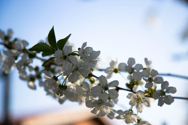 De tak van de kersenbloesem in de lente met mooie witte bloemen in blauwe hemel stock afbeelding