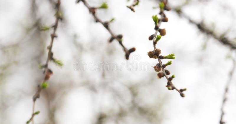 De tak van de lariksboom in de lente royalty-vrije stock fotografie