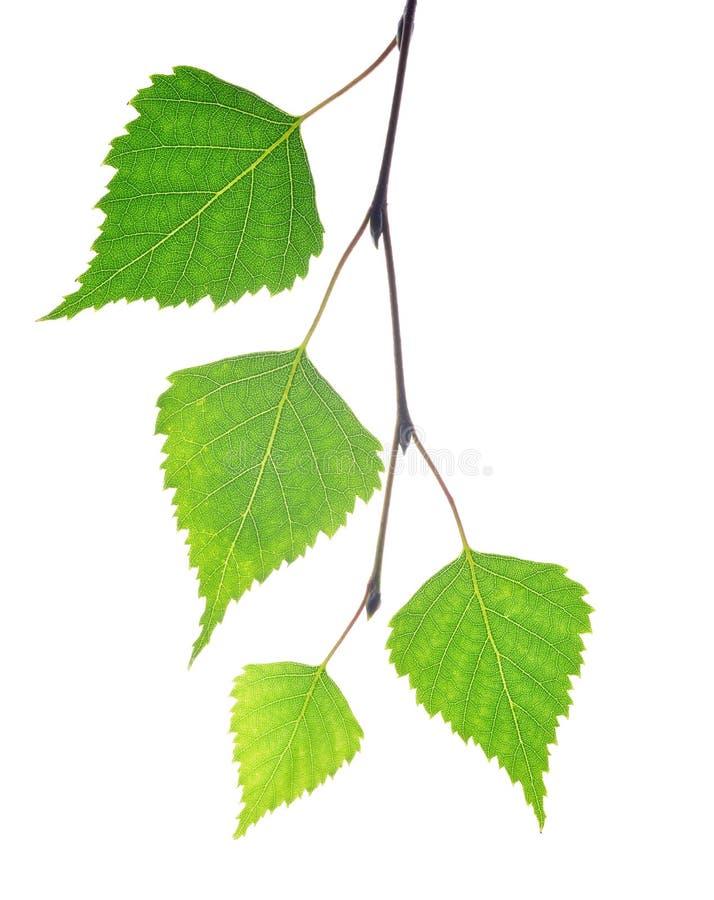 De tak van de de lenteberk met groene bladeren stock afbeeldingen