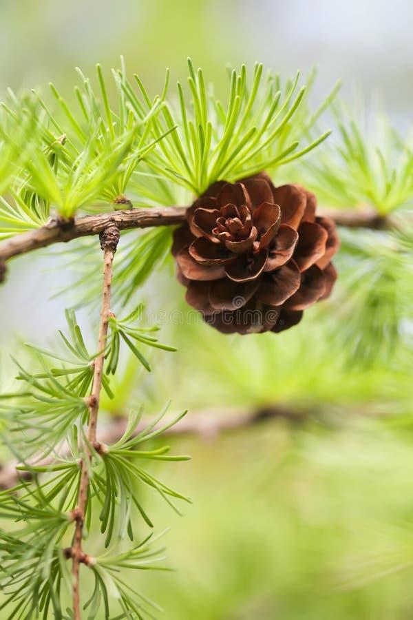 De tak van de pijnboomboom met denneappel, pinecone Macroaard, groen energieconcept zachte nadruk, ondiep dieptegebied royalty-vrije stock afbeelding