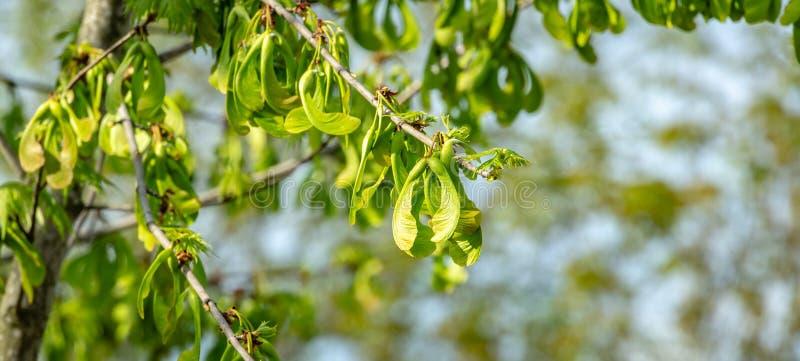 De tak van saccharinum van esdoornacer met partij van reen zaden tegen blauwe hemel Jonge zaden op esdoorn stock fotografie