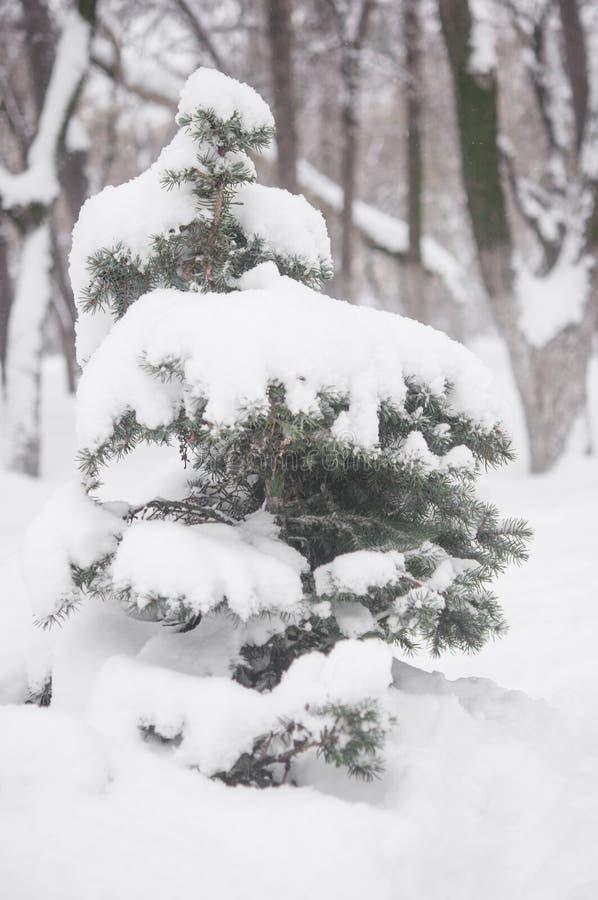 De tak van de spar met sneeuw stock afbeeldingen