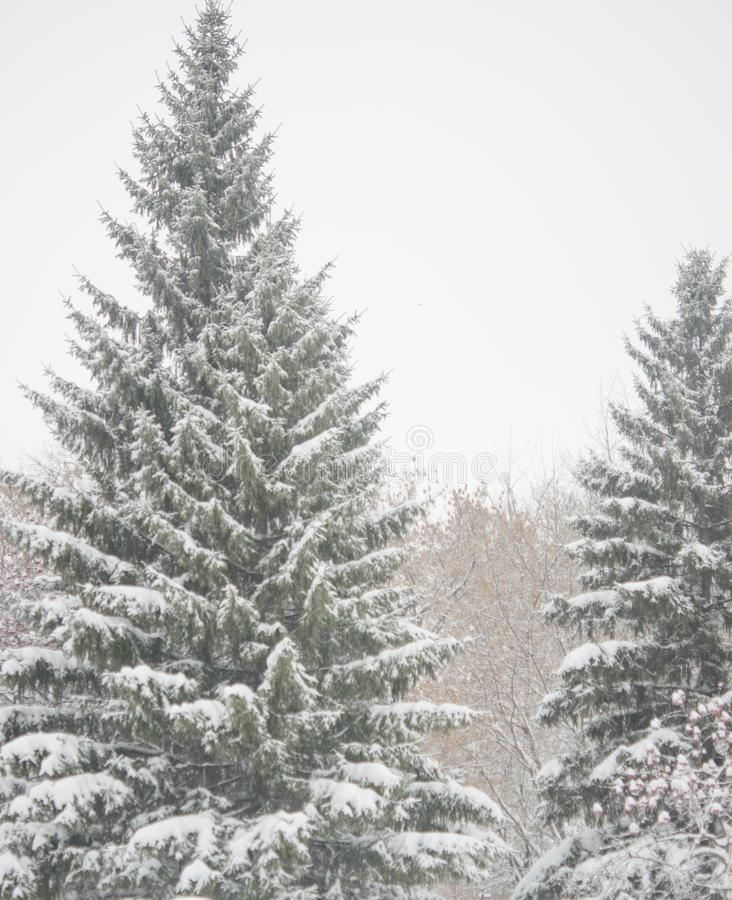 De tak van de spar met sneeuw royalty-vrije stock afbeelding