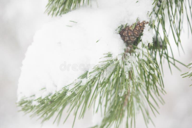 De tak van de spar met sneeuw stock foto's