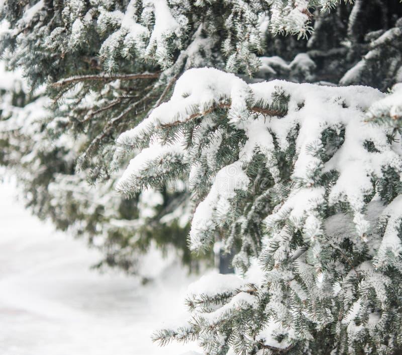De tak van de spar met sneeuw stock foto