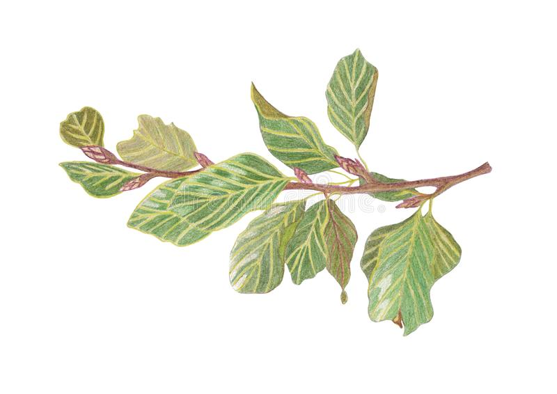 De tak van de de tekeningsboom van de potloodhand met groene bladeren royalty-vrije illustratie