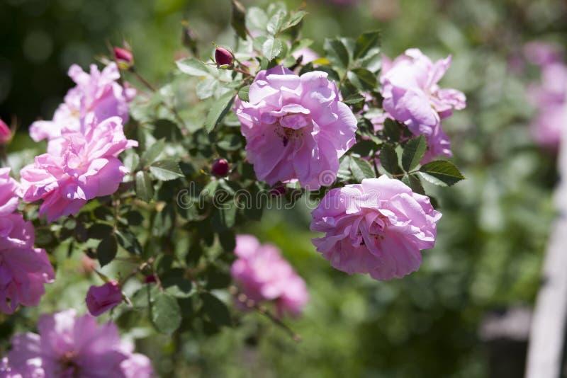 De tak van tuinrozen, thee nam toe royalty-vrije stock foto's
