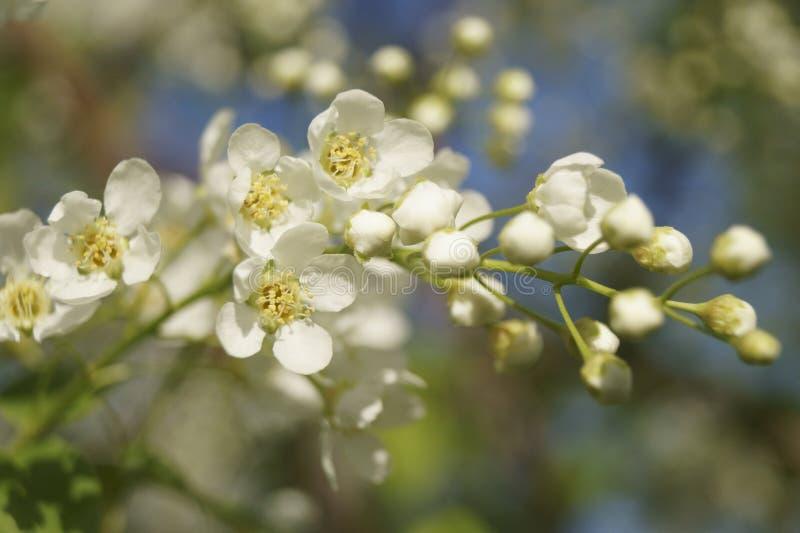 De tak van witte bloemen royalty-vrije stock afbeelding
