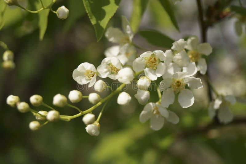 De tak van witte bloemen royalty-vrije stock foto's