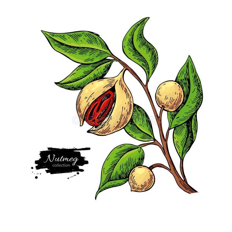 De tak vectortekening van de notemuskaatinstallatie Botanische illustratie Uitstekende hand getrokken kruidschets vector illustratie