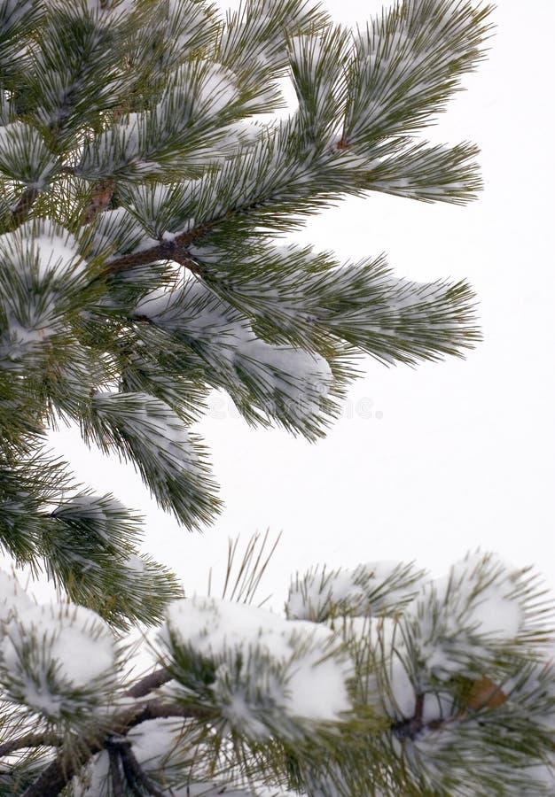 De Takken van de Boom van de pijnboom die in Sneeuw worden behandeld stock afbeeldingen