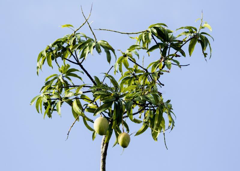 De takken van de mangoboom stock foto