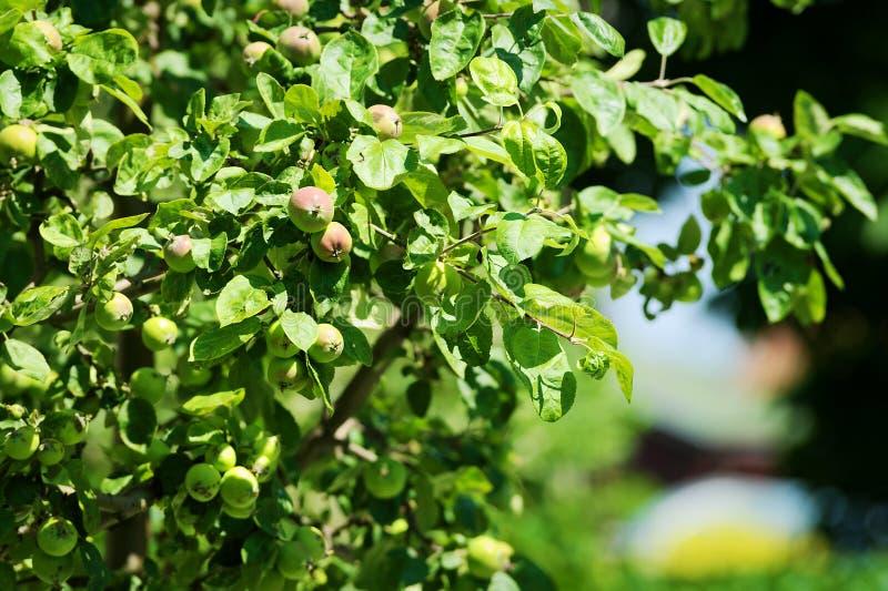 De takken van de pumilaboom van Apple Malus met appelen die in de boomgaard groeien stock afbeelding
