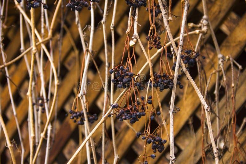 De takken van druiven strengelen een houten as ineen Asdecoratie stock foto's
