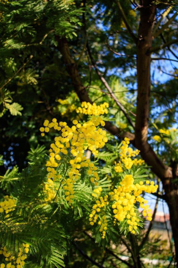 De takken van de mimosaboom met gele bloemen en blauwe hemel Vakantie de Zuid- van Frankrijk De lente komt Van de eerste bloei royalty-vrije stock foto
